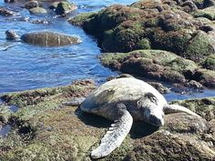 A short drive past Volcanoes National Park is Punaluú Black Sand Beach. It is a sea turtle nesting spot and it is amazing to see all the turtles resting in the sand.