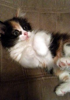 """A calico kitten was spotted on the street when she was a few weeks old. """"Our coworkers picked up a kitten in the middle of the street in downtown Columbus,"""" her rescuer said.Meet Fiona! This is the moment of her rescue. Photo: paperfangs  Fiona was very small for a 5 week old. """"Possibly the runt..."""