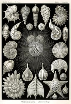 """""""Thalamophora"""", from Ernst Haeckel's Kunstformen der Natur """"Art Forms of Nature"""", 1904. From the first edition of Haeckel's work on the new arts around 1900, in the style of Art Nouveau. Published in"""