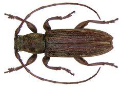 Family: Cerambycidae Size: 7 mm Location: Indonesia, Sulawesi, Kandari leg O.Beccari, 1914, det. Breuning, 1939 Holotype, Coll. Museum Genoa Photo: U.Schmidt, 2008