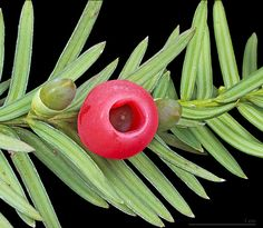 * Arilos maduros e imaturos. Folhagem de Teixo * (Taxus baccata).