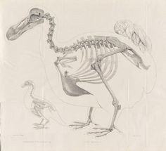 Life-size fold-out skeletal reconstruction of the Dodo, from Owen This is the fat and awkward reconstruction that, despite being revised less than 20 years later, sticks with us to this day. Richard Owen, Flightless Bird, Animal Anatomy, Vertebrates, Beautiful Birds, Memoirs, Les Oeuvres, Animals, Image