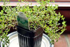 Lemon thyme for container garden.