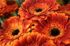 blumen | Blumen – Orange Rot