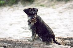 in the sand Dog Photography, Photography Portfolio, Mini Schnauzer, Dog Lovers, Dogs, Miniature Schnauzer, Pet Dogs, Doggies, Schnauzer