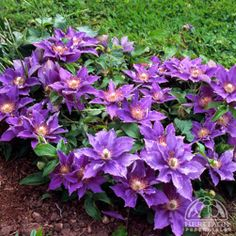"""New Clematis. Stands only 12"""" tall. Blooms early to mid summer.  Might have to give this one a try!"""
