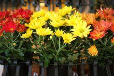 Chrysanthemum care tips.  #Chrysanthemum #Mum #Fall #Care #Tips #Flowers