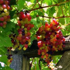 these grapes look delicious!