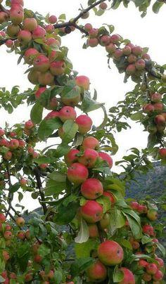 Beauty ❤🌷 of nature's ❤❤❤ Apple Garden, Fruit Garden, Vegetable Garden, Beautiful Fruits, Beautiful Gardens, Beautiful Flowers, All Fruits, Healthy Fruits, Fruit Plants