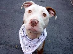TO BE DESTROYED - 05/28/14 Manhattan Center -P  My name is LIGHNY. My Animal ID # is A1000097. I am a male brown and white pit bull mix. The shelter thinks I am about 3 YEARS old.  I came in the shelter as a STRAY on 05/17/2014 from NY 10457, owner surrender reason stated was STRAY. I came in with Group/Litter #K14-177694.