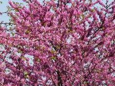 Tesco non food Judas Tree, Acer Palmatum, Tree Images, Low Maintenance Plants, Japanese Maple, Flowers, Southern Europe, Garden Ideas, Salads
