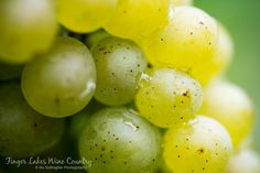 Sauvignon blanc cluster in Finger Lakes Wine Country. Finger Lakes, Harvest Time, Sauvignon Blanc, Wine Country, Wines, Fruit