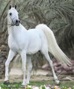 170/365: The Beauty of Arabian Horse | Flickr - Photo Sharing!