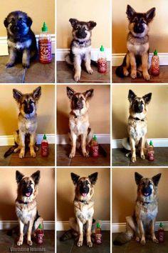 Crescimento de cachorro é comparado com garrafa de pimenta