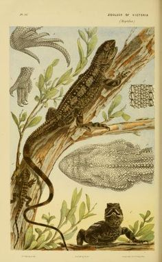 Decade 11-15 - Natural history of Victoria. - Biodiversity Heritage Library