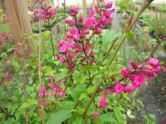 ROSEBUD SAGE Also known as roseleaf sage or rosebud sage, this beautiful tall-growing salvia variety features dark green leaves and tall burgundy stems adorned with dark rose pink blooms that hummingbirds adore. Growing up to 5' tall, perfect as a back border in the flower bed. Blooms late Spring and throughout the hot summer months. Perennial zones 9-10. Can survive zone 8 with some winter mulching.