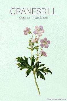 The Herb Cranesbill (Geranium maculatum)