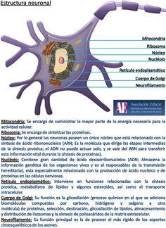 Estructura neuronal - Asociación Educar - Ciencias y Neurociencias aplicadas al Desarrollo Humano - www.asociacioneducar.com