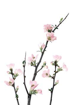 quince blossoms | STILL (mary jo hoffman)