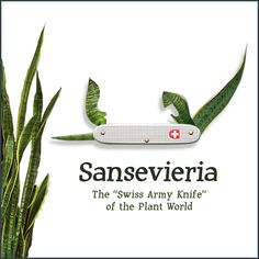 Sansevieria: The Swiss Army Knife of the Plant World