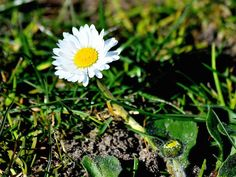 A lone daisy at Lions Park in Bremerton, Wash., on