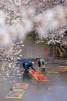 Gojo River, Iwakura, Aichi, Japan (Nonbori-arai, washing the glue off from brand new Koi-nobori, carp streamers.) 五条川 のんぼり洗い