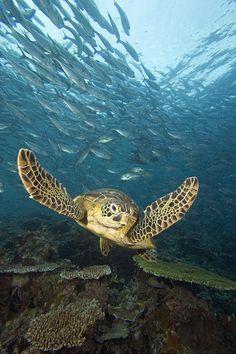 Green Sea #Turtle