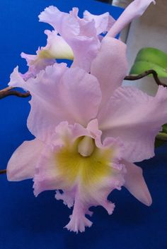 Unknown Cattleya Orchid in my collection; pink with lavender and yellow throat. Blooms each December. Clay Flowers, Flowers Nature, Fresh Flowers, Wonderful Flowers, Beautiful Flowers, Orchid Show, Cattleya Orchid, Exotic Plants, Garden Gifts