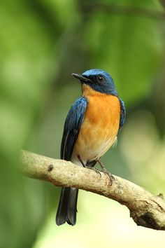 Tickell's Blue Flycatcher, Kerala, India - photography by Ambadysasi, via Pixabay.