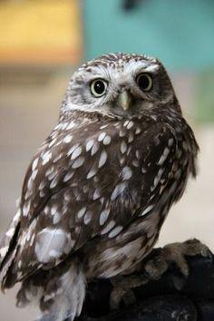 Articles, Tips & Advice Little Owl, Birds, Painters, Owls, Artwork, Articles, Advice, Wisdom, Animals
