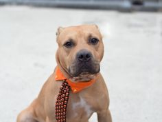 BOITA - A1091354 - - Brooklyn  Please Share:TO BE DESTROYED 10/03/16 **NEW HOPE RESCUE ONLY**  Poor Boita is only a year and a half old. To many, he is the perfect age dog; past the initial puppy chewing and housebreaking stage, but young enough to begin serious training and bonding. However, to the ACC, Boita is just another disposable pittie mix to come through its doors. Boita's owner surrendered him to the ACC on September 26th, only stating that he/she had no tim
