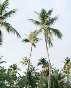 The jack and the Beanstalk of Palm Trees. @thecoveteur