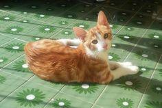 JOAN - Gato en adopción - AsoKa el Grande