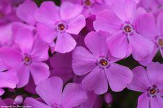 Pink/purple creeping phlox