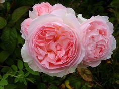 Английские розы   Sharifa Asma (Шарифа Асма)