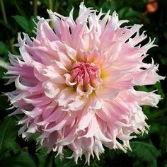 Dahlia cactus 'Idylle'
