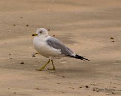 Sometimes, a gull's just gotta strut.  #ring-billedgull #ringbilledgull #seagull #surfsidetx #surfsidebeachtx #beach #naturephotography