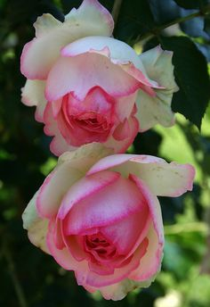 Pink tipped roses