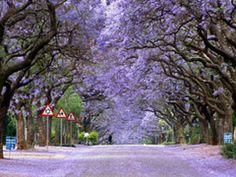Jacracanda Street Sydney, Australia