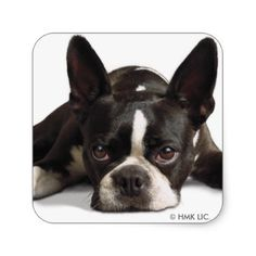 #Lazy Boston Terrier Square Sticker - #boston #terrier #puppy #dog #dogs #pet #pets #cute #bostonterrier