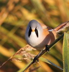 Autumn is one of the best times to see the elusive Bearded Tit. This beauty was spotted at RSPB Rainham Marshes and captured on camera by Les Harrison.