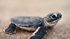 Baby Wild Animals | Baby Turtle Hatchling Cute Animal Pet Green Sea Sand Beach Little ... i want