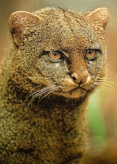 Jaguarundi or Eyra cat is native to Central and South America. It has been seen as for north as South Texas and south as Argentina. They're small wild cats weighing in at a max of 20 lbs. It has 2 color phases which at one time were thought to be 2 different species. 1) gray color phase was called Jaguaundi and 2) red color phase was called Eyra cat. But they are both the same animal in different phases.