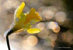 Gorgeous spring picture! The sparkling snow/frost and the bokeh are an awesome touch! Photo credit: Prakriti Photography
