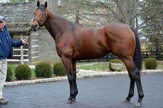 American Pharoah, ready for stallion duty at Coolmore Ashford Stud