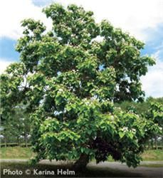 Northern Catalpa - Catalpa speciosa