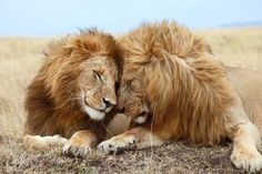LIONS INHABITED MANY AREAS OF EUROPE UNTIL THEY WERE HUNTED TO EXTINCTION IN THE REGION AROUND 100 BCE.