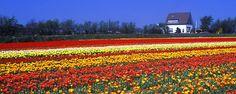 Direction les champs de tulipes ! - #easyvoyage #voyageurs #clubeasyvoyage #voyage #voyager #weekend #holiday #holidaytravel #vacances #voyageur #travel #traveler #traveling #travelgram #flowers #fleurs #tulipes #paysbas #netherlands #nederland