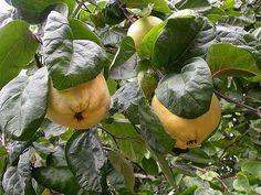 Frunzele de gutui reprezentau o adevărată sursă de sănătate în Antichitate, cu ajutorul lor fiind tratate zeci de boli de medicii acelor timpuri. Însuşi Avicenna, autoritatea de necontestat în ştiinţele medicale de demult le utiliza nu numai pentru t
