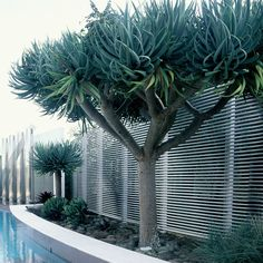 Dragon tree, approx. 15-20 y.o. Full/half sun. Can tolerate extended dry/ exposed conditions.